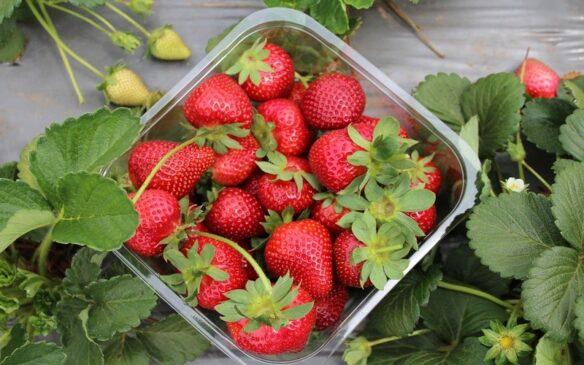 गर्म राजस्थान में स्ट्रॉबेरी की खेती